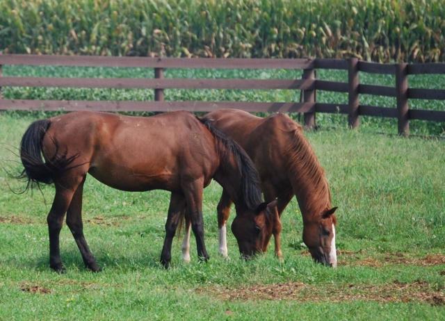 草を食べる二頭の馬